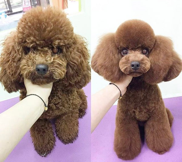 teddy bear dog haircut