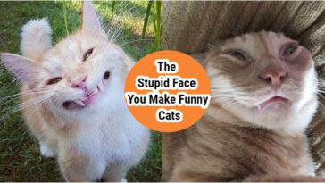 The-Stupid-Face-You-Make-Funny-Cat